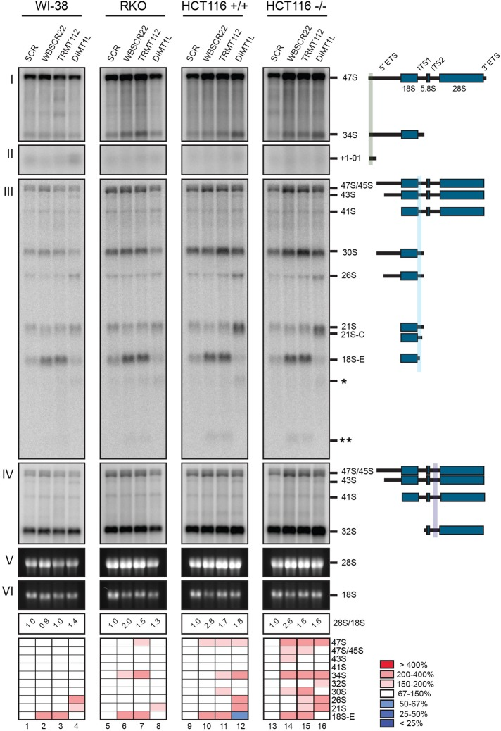DIMT1L, WBSCR22, and TRMT112 are required for distinct pre-rRNA processing steps, and the pre-rRNA processing defects are conserved in different cell types and do not depend on p53. WI-38, RKO, and HCT116 cells were treated for 3 d with a specific siRNA targeting DIMT1L, WBSCR22, or TRMT112. Paired HCT116 cell lines expressing p53 or not were used (+/+ and –/–). Total RNA was extracted, resolved on denaturing agarose gel, transferred to a nylon membrane, and hybridized with probes. The probes used were as follows: (I, II) LD1844, (III) LD1827, and (IV) LD1828. The detected pre-rRNA species are indicated to the right and schematized. (V, VI) The mature <t>28S</t> and <t>18S</t> rRNAs stained with ethidium bromide. For each sample, the 28S/18S ratio was calculated from Agilent bioanalyzer electropherograms. All RNA species were quantified with a Phosphorimager normalized with respect to the nontargeting control (SCR), and their abundances represented as a heatmap using the color code indicated to the right. The sequences of the siRNAs used are listed in Supplemental Table S3 (WBSCR22#1, TRMT112#2, and DIMT1L#2). Note that in the heatmap for RKO cells, the signal for lane 8 was corrected for loading.
