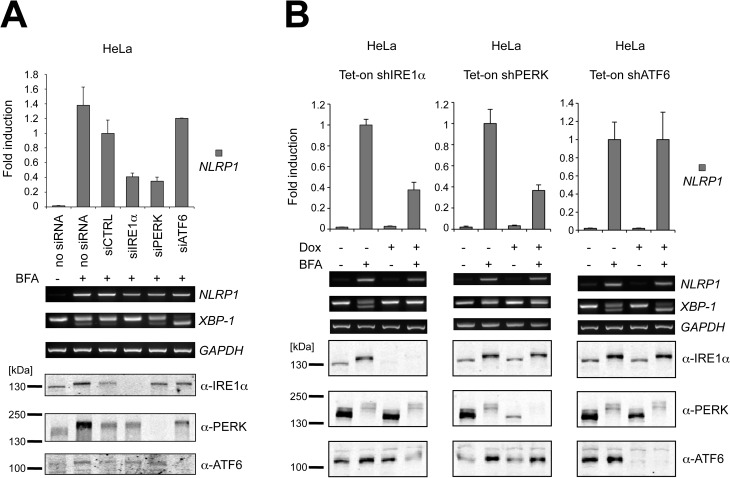 NLRP1 mRNA up-regulation is dependent on both IRE1α and PERK pathways. (A) IRE1α, PERK and ATF6 levels were reduced using siRNA. Upon treatment with ER stress, mRNA levels were measured by qPCR and RT-PCR. IRE1α, PERK and ATF6 knock-down was verified by SDS-PAGE/immunoblotting. (B) Stably transduced HeLa cells were cultured in presence or absence of doxycycline (Dox) for 24 hours and then treated overnight with 2μM BFA. mRNA levels were measured by qPCR and RT-PCR. IRE1α, PERK and ATF6 knock-down was verified by SDS-PAGE/immunoblotting. Each panel is representative of at least three independent experiments.