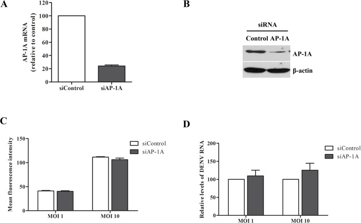 AP-1A was not involved in DENV binding and internalization. (A) Knockdown efficiency of AP-1A siRNA in Huh7 cells was examined by real-time RT-PCR at 48 h after second transfection. (B) AP-1A protein was measured by western blotting. (C) Quantification of DENV binding on Huh7 cells transfected with AP-1A siRNA. Cells transfected with control siRNA and AP-1A siRNA were incubated with DENV-2 at a MOI of 1 for 30 min on ice. Cells were surface stained with antibody to DENV E, followed by staining with the rabbit anti-mouse IgG conjugated with fluorescein isothiocyanate. The surface E-positive cells were analyzed by flow cytometry. (D) Viral internalization was determined by detecting DENV RNA at 2 h post-infection using real-time RT-PCR. Statistical significance was analyzed using unpaired t test (*P