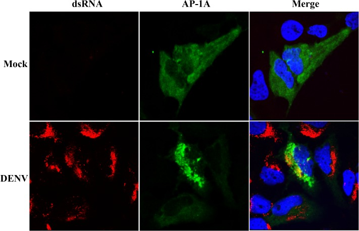 AP-1A was partially co-localized with dsRNA in DENV-infected cells. Huh7 cells were plated on coverslips, transfected with a plasmid containing AP-1A [ 47 ] and infected with DENV for 24 h. The cells were fixed and incubated with anti-dsRNA antibody and anti-GFP antibody, Upon removal of primary antibodies, cells were incubated with Alexa Fluor 488-conjugated donkey anti-rabbit IgG and Alexa Fluor 594-conjugated donkey anti-mouse IgG Hoechst 33342 was used to stain nuclei of the cells. The cells were visualized by a confocal laser-scanning microscope (LSM 510 Meta).