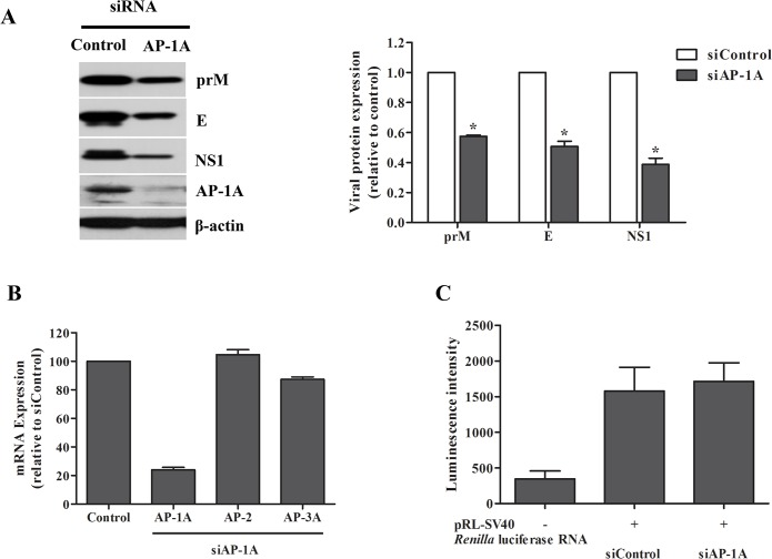 Expression of DENV protein was decreased in Huh7 cells transfected with AP-1A siRNA. (A) Huh7 cells were transfected with control siRNA and AP-1A siRNA and infected with DENV-2 for 24 h. DENV proteins were examined at 24 h post-infection by western blotting. Band intensity of DENV proteins was quantified using Image J software. (B) Expression of AP-1A, AP-2 or AP-3A in Huh7 cells was examined by real-time RT-PCR at 48 h after second transfection. (C) pRL-SV40 vector, which contains Renilla luciferase gene, was subjected to in vitro transcription. To determine the effect of AP-1A knockdown on translation, Huh7 cells were transfected twice with AP-1A-specific siRNA or control siRNA. After the second round of siRNA transfection, cells were transfected with 2.5 nM reporter RNA followed by replacement with fresh culture medium at 4 h later. Following 8 h after transfection with reporter RNA, cells were harvested and determined for Renilla luciferase expression using Luciferase Reporter Assay System (Promega).