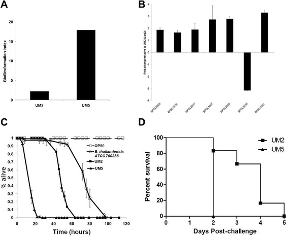 The B. pseudomallei high biofilm producer, UM5, also results in faster killing kinetics and over-expression of biofilm-associated genes compared to a second low biofilm producing isolate, UM2. a Biofilm index of UM2 and UM5. b qRT-PCR analysis of B. pseudomallei genes from seven functional categories differentially expressed by RNA-Seq analysis. The results are from a representative of three reproducible independent experiments. c Killing assay of C. elegans infected with UM2 (black line, closed square), UM5 (black line, closed triangle) and B. thailandensis (black line, open square). The graph shows the mean ± SD of three replicates (30 worms/replicate) from a representative of two independent experiments. d Mice (n = 5) were challenged intraperitonealy with a lethal dose of B. pseudomallei UM5 (triangle) or UM2 (square) and their survival was monitored. Mice challenged with UM5 succumbed to disease significantly faster (within 24 h) than those challenged with UM2 [Logrank (Mantel-Cox) test, p -value = 0.0084]