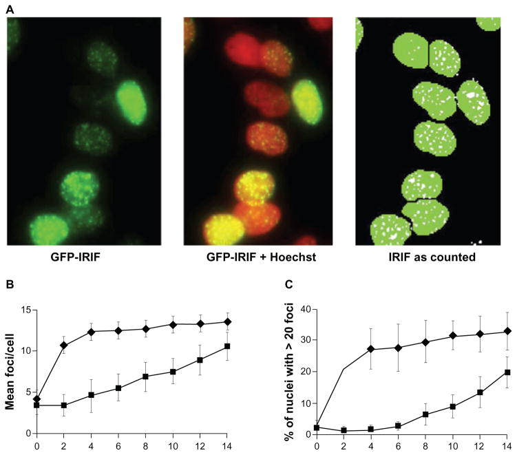 Optimizing quantification of development and resolution of ionizing radiation-induced foci (IRIF) in MCF7 Tet-On  green fluorescent protein (GFP)-IBD. A threshold of 1.1 μm was set for the minimum width for foci to exclude background. After a 48-hour induction with doxycycline, cells were pretreated for 1 hour with 6.25 μM etoposide and then dosed with 6 Gy IR. Twenty-four hours later, cells were scanned and imaged with the ImageXpress system.  A ) Automated imaging of GFP-labeled IRIF (pseudocolored green) in the leftmost panel, with Hoechst 33342-stained nuclei (pseudocolored red) superimposed in the middle panel. The right panel shows the result of automated segmentation of nuclei (Hoechst) and foci (GFP) prior to quantification by the granularity module of the MetaXpress software.  B ) Average number of IRIF per cell was calculated from four fields/well in triplicate wells at 2 hours (upper line, diamonds) and 24 hours (lower line, squares) at IR doses from 2 Gy to 14 Gy.  C ) The percentage of cells with nuclei with  > 20 foci counted at 2 hours (upper line, diamonds) and 24 hours (lower line, squares) at IR doses from 2 Gy to 14 Gy. Based on these data, 6 Gy was selected as a screening dose.