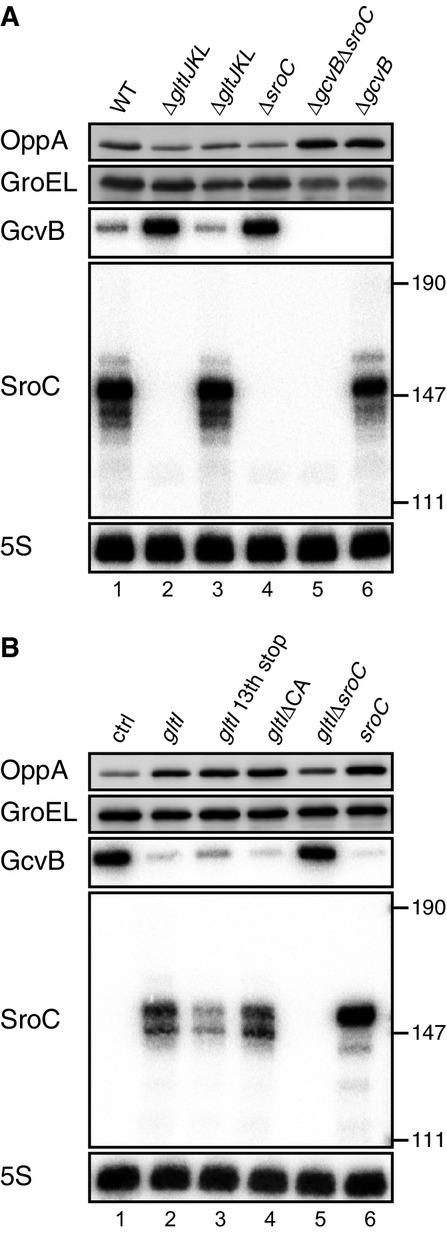 SroC is the effector molecule for GcvB repression Expression changes of OppA and GcvB upon deletion of gltIJKL locus. WT (JVS-1574), Δ gltIJKL (JVS-5823), Δ gltJKL (JVS-10795), Δ sroC (JVS-5821), Δ gcvB Δ sroC (JVS-5822), and Δ gcvB (JVS-0236) strains were grown to early stationary phase (OD 600 of 2.0) in LB medium. Expression changes of OppA and GcvB by overexpression of gltI - sroC . Δ gltIJKL strain (JVS-5823) harboring pBAD-ctrl (lane 1), pBAD- gltI (pMM36) derivatives (lanes 2-5), or pBAD-SroC (lane 6) was grown to early stationary phase (OD 600 of 2.0) in LB medium supplemented with 0.02% l -arabinose. Data information: Upper two panels: Total protein was analyzed by Western blot to quantify OppA expression. GroEL served as a loading control. Lower three panels: Total RNA was analyzed by Northern blot, and expression of GcvB and SroC was monitored. 5S rRNA served as a loading control. Estimated size from pUC8 marker is indicated on the right. Source data are available online for this figure.