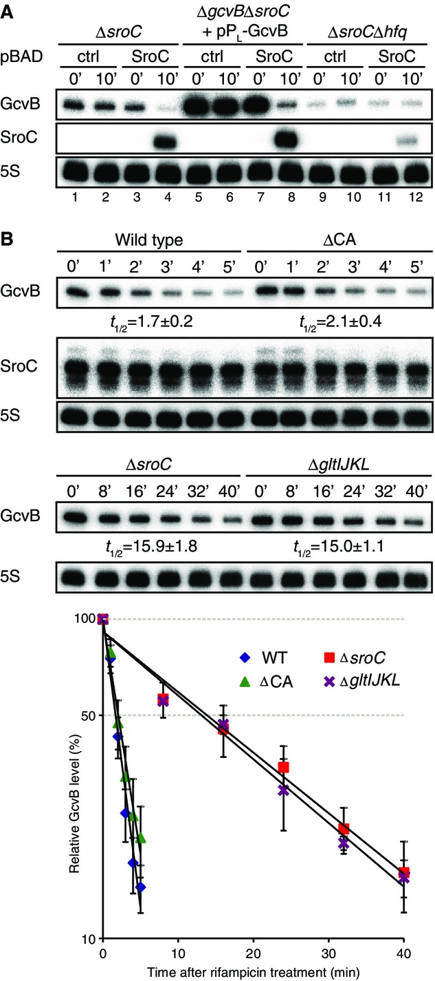 Posttranscriptional regulation of GcvB by SroC Salmonella Δ sroC (JVS-5821), Δ gcvB Δ sroC (JVS-5822), and Δ sroC Δ hfq (JVS-9031) strains were transformed with pBAD-ctrl (pKP8-35) or pBAD-SroC (pYC6-4). Δ gcvB Δ sroC was cotransformed with pP L -GcvB (pMM03). Each strain was grown to OD 600 of 0.5 (0 min) and was further incubated for 10 min in the presence of 0.2% l -arabinose. Salmonella WT (JVS-1574), Δ gltIJKL (JVS-5823), ΔCA (JVS-10741), and Δ sroC (JVS-5821) strains were grown to OD 600 of 2.0 prior to the addition of rifampicin. Total RNA was analyzed by Northern blot to determine decay rates of GcvB. The half-lives were determined from three independent experiments; the standard deviation is indicated. Source data are available online for this figure.
