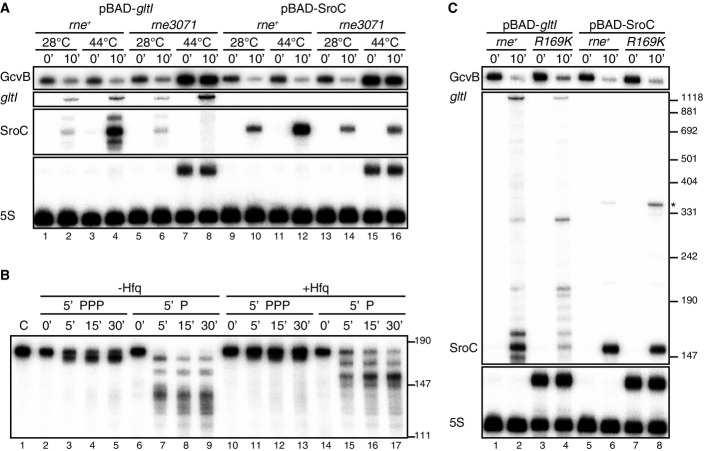 RNase E mediates SroC processing and GcvB degradation in distinct pathways Salmonella Δ gltIJKL rne + (JVS-9257) and Δ gltIJKL rne3071 (JVS-9258) strains transformed with pBAD- gltI or pBAD-SroC were grown to OD 600 of 0.3 at 28°C and further incubated at 44°C for 30 min (OD 600 of ˜0.5, indicated as time point 0). SroC expression was then induced for 10 min in the presence of 0.2% of l -arabinose. Total RNA was analyzed by Northern blots. 100 nM of 5′PPP or 5′P in vitro -transcribed preSroC was incubated with 100 nM of purified RNase E (1–529) at 30°C for the indicated time in the presence (lanes 10–17) or absence (lanes 2–9) of 100 nM Hfq. The same amount of preSroC was loaded in lane 1 as a control. SroC transcripts were detected using 5′-end-labeled oligonucleotide JVO-2907. Salmonella Δ gltIJKL rne + (JVS-9257) and Δ gltIJKL rneR169K (JVS-11001) strains transformed with pBAD- gltI or pBAD-SroC were grown to OD 600 of 0.5 (0 min) at 37°C and was further incubated for 10 min in the presence of 0.2% l -arabinose. The asterisk indicates transcriptional read-through to the rrnB terminator located downstream on the plasmid. Total RNA was prepared from the Salmonella strains and subjected to Northern blot analysis. 9S rRNA accumulated in the rneR169K strain. Estimated size from pUC8 marker is indicated on the right. Source data are available online for this figure.