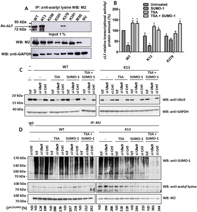 A SUMOylation/acetylation switch at K13 controls ΔLf transcriptional activity. (A) K13 is the main acetylation site. Cells were co-transfected by WT, the mutant constructs or the null vector and then lysed 24 h later. Lysates were immunoprecipitated with <t>anti-acetyllysine</t> antibodies and immunoblotted with M2. Input was immunoblotted with either M2 or anti-GAPDH antibodies and used as loading control (n = 3). B) Relative transcriptional activity of K13 and K379 mutants compared to WT. Cells were co-transfected with pGL3-S1 Skp1 -Luc reporter vector and WT, K13 or K379. His-SUMO-1 expression vector and/or the deacetylase inhibitor Trichostatin A (TSA, 15 ng/mL) were used to modulate the acetylation/SUMOylation ratio. Relative luciferase activities are expressed as described in Materials and Methods (n≥3; p