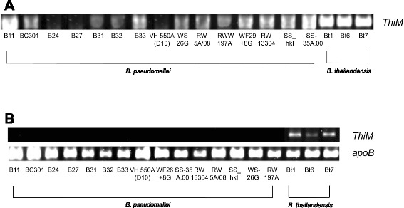 PCR for hydroxyethyl thiazole kinase genes and RT-PCR for mRNA detection in B. pseudomallei and B. thailandensis. a PCR of thiM from genomic DNA: thiM is present in the genomes of the three B. thailandensis strains, Bt1, Bt6 and Bt7, and 12 of 15 B. pseudomallei strains, but absent in the genomes of three B. pseudomallei strains, B24, B27 and VG550A (D10) with the highest 4-methyl-5-thiazoleethanol levels. b RT-PCR of thiM from mRNA of B. thailandensis : thiM is expressed in B. thailandensis strains Bt1, Bt6 and Bt7, but not expressed in the 12 B. pseudomallei strains that possessed thiM gene. Housekeeping gene apoB is used for normalization
