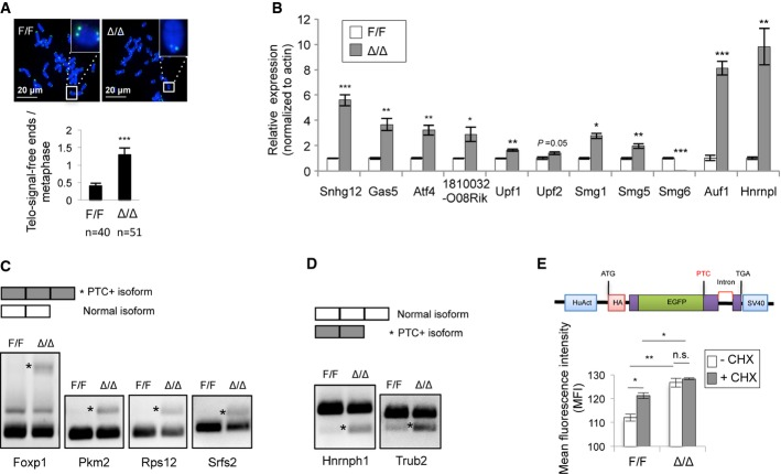 Smg6 is required for telomere maintenance and NMD in ESCs A Telomere FISH analysis of control (F/F) and Smg6 Δ/Δ (Δ/Δ) ESC metaphases. Representative images (up) and quantification of chromosomes lacking telomere signals (telomere-signal-free ends) (lower panel) are shown. n , the number of metaphases analyzed. B qRT–PCR analysis of NMD target transcripts in control and Smg6 Δ/Δ ESCs. The expression levels of the NMD target genes were normalized to β-actin. The data are from three independent biological samples. C RT–PCR analysis of exon inclusion generated PTC-containing (*PTC+) isoforms in control and Smg6 Δ/Δ ESCs. D RT–PCR analysis of exon exclusion generated PTC-containing (*PTC+) isoforms in control and Smg6 Δ/Δ ESCs. E Smg6 Δ/Δ ESCs are NMD defective. ESCs were transfected with the NMD reporter (upper panel) and analyzed in triplicate by FACS. The GFP signal intensity determines the NMD activity. CHX was used to inhibit NMD. The data represent one of two independent ES clones of each genotype. Data information: The error bars represent the SEM. Unpaired Student's t -test was used. n.s., not significant, P > 0.05; * P
