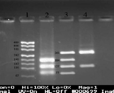 Genotyping of -2383 C/T in FOXP3 gene using polymerase chain reaction-restriction fragment length polymorphism technique with Bsr I ( Bse NI) enzyme, followed by the band detection on gel red-stained 3% agarose gel after electrophoresis. 1: pUC19 marker, 2: CC in females and C in males (184, 127, and77 bp), 3: CT (just in females) (261, 184, 127, and 77 bp), 4: TT in females and T in males (261 and 127 bp)
