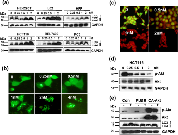 CTAB-coated GNRs induced autophagy in cells. Cells were treated with 0.25–2 nM CTAB-coated GNRs for 24 h. The autophagy of HCT116 cells induced by CTAB-coated GNRs was Akt independent. ( a ) Western blot analysis of LC3 protein levels in cancer cell lines as well as in immortalized nonmalignant cell lines. Cropping lines are used in the figure. Full-length blots are presented in Supplementary Figure 2 . The gels have been run under the same experimental conditions. ( b ) Representative GFP-LC3 fluorescent punctate dot images in HCT116. ( c ) Detection of acidic vesicular organelles with acridine orange staining. ( d ) Western blot analysis of Akt in cells treated with 0.25–2 nM CTAB-coated GNRs for 24 h. Cropping lines are used in the figure. Full-length blots are presented in Supplementary Figure 2 . The gels have been run under the same experimental conditions. ( e ) Cells transfected with vehicle plasmid (pUSE) or constitutively active Akt (CA-Akt) were incubated with or without 2 nM CTAB-coated GNRs for 24 h and then analyzed for LC3 and Akt by Western blot. Cropping lines are used in the figure. Full-length blots are presented in Supplementary Figure 2 . The gels have been run under the same experimental conditions.