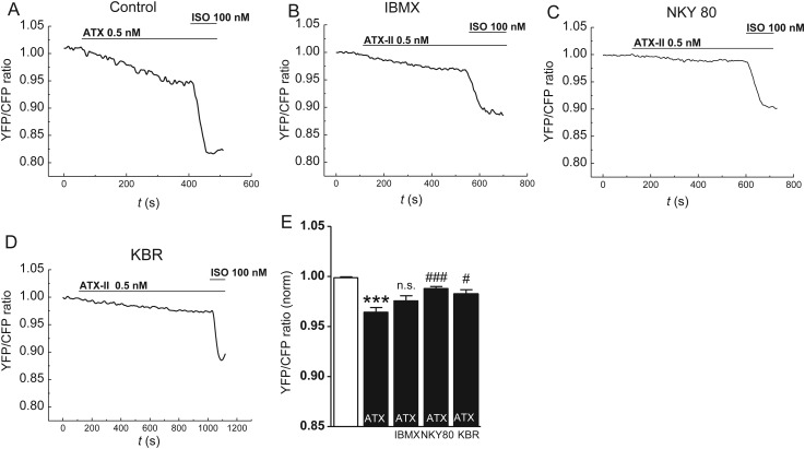 Effects of late I Na induction on cellular cAMP levels in atrial CMs of mice. ( A–D ) YFP/CFP tracings in CMs of EPAC-camps transgenic mice upon ATX-II (0.5 nmol/L) and subsequent isoproterenol treatment (100 nmol/L). CMs were <t>preincubated</t> with a ( B ) PDE inhibitor <t>IBMX</t> (100 µmol/L), ( C ) an inhibitor of AC 5/6 (NKY80, 10 µmol/L), ( D ) an inhibitor of reverse-mode NCX KBR (0.1 µmol/L), or ( A ) no inhibitor. ( E ) Quantification of response of YFP/CFP ratio ( n mice/cells = 10/39 vs. 3/8 vs. 3/10 vs. 3/11). *significant vs. steady-state before ATX-II; # significant vs. YFP/CFP ratio upon ATX-II in the control group. * / # P