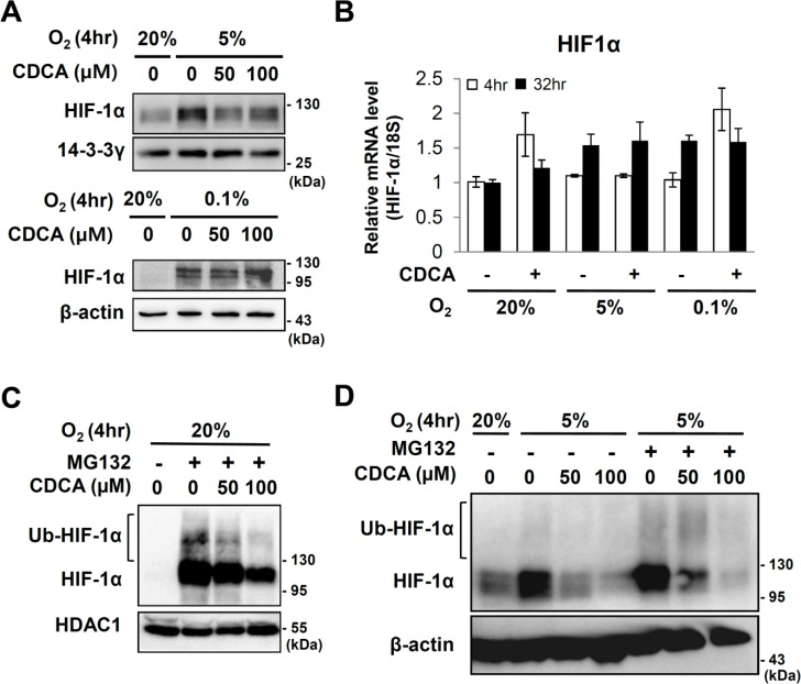 Effect of CDCA on HIF-1α expression. After starvation for 20hr, HepG2 cells were pretreated with CDCA (100 μM or indicated dose) for 6 hours then exposed to 20%, 5% or 0.1% O 2 for the indicated hours. (A) Western analyses for HIF-1α, 14-3-3γ and β-actin proteins. 14-3-3γ and β-actin proteins were detected as loading controls. (B) Quantitative RT-PCR of HIF-1α mRNA. (C and D) Western analyses of HIF-1α protein. HepG2 cells which were serum starved with medium containing 0.5% FBS for 20 hours prior to stimulation with MG132 (10 μM) and/or CDCA. 6 hours after treatment, the cells were exposed to 20% or 5% O 2 for 4 hours. Ubiquitinated and original HIF-1α proteins are indicated. HDAC1 protein or β-actin protein were examined in order to verify equal loading. (D) 20 μg of MG132 untreated total cell extracts and 5 μg of MG132 treated total cell extracts are loaded, respectively.