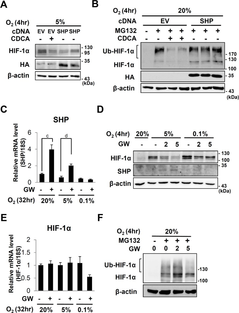 Effects of SHP or GW4064 on HIF-1α expression. (A and B) HepG2 cells were transfected with an empty vector or pcDNA3/HA-SHP. 18 hours after transfection, the cells were serum starved with medium containing 0.5% FBS for 20 hours. The cells were treated DMSO or 100 μM of CDCA for 6 hours in the absence or presence of MG132 and then exposed to 20%, 5% or 0.1% O 2 for 4 hours. 30 μg of total cell extracts are loaded for western analyses. (C to E) After starvation for 20hr, HepG2 cells were pretreated with GW4064 (GW) (5 μM or indicated dose) for 6 hours then exposed to 20%, 5% or 0.1% O 2 for the indicated hours. (C and E) qRT-PCR analyses of SHP or HIF-1α respectively. The expression level was normalized with the expression level of 18s rRNA. a, p ≤ 0.1; b, p ≤ 0.05; c, p ≤ 0.01; d, p ≤ 0.001. (D) Western analyses of HIF-1α, SHP and β-actin. (F) Western analyses of HIF-1α and β-actin in HepG2 cells which were treated with indicated doses of GW4064 and MG132 as described above. Ubiquitinated and original HIF-1α proteins are indicated. β-actin protein were examined in order to verify equal loading.
