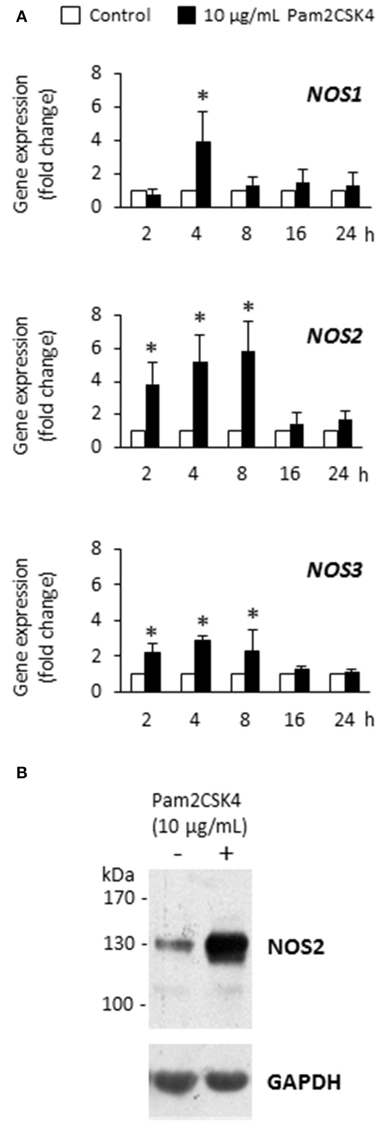Pam2CSK4 increases NOS1 , NOS2 , and NOS3 gene expression and NOS2 protein synthesis in odontoblast-like cells. (A) Analysis of NOS1 , NOS2 , and NOS3 gene expression after cell challenge with 10 μg/mL Pam2CSK4 for the indicated times. The three genes were significantly up-regulated upon Pam2CSK4 stimulation, NOS2 being the most up-regulated one ( n = 4). * p