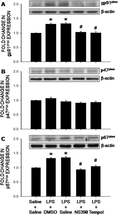 The COX-2-dependent upregulations of the NADPH oxidase subunits in the hippocampus after intraperitoneal LPS infusion. Representative gels (insert) and densitometric analysis of results from Western blot showing changes in expression of gp91 phox ( a ), p47 phox ( b ) and p67 phox ( c ) in the hippocampus, measured on day 7 after intraperitoneal infusion via an osmotic minipump of saline or LPS (2.5 mg/kg/day) for 7 days alone or with additional intracerebroventricular infusion of NS398 (5 μg/μl/h, dissolved in 1 % DMSO), tempol (2.5 μg/μl/h, dissolved in saline) or the corresponding vehicle. Values are mean ± SEM, n = 8–10 rats per group. *P