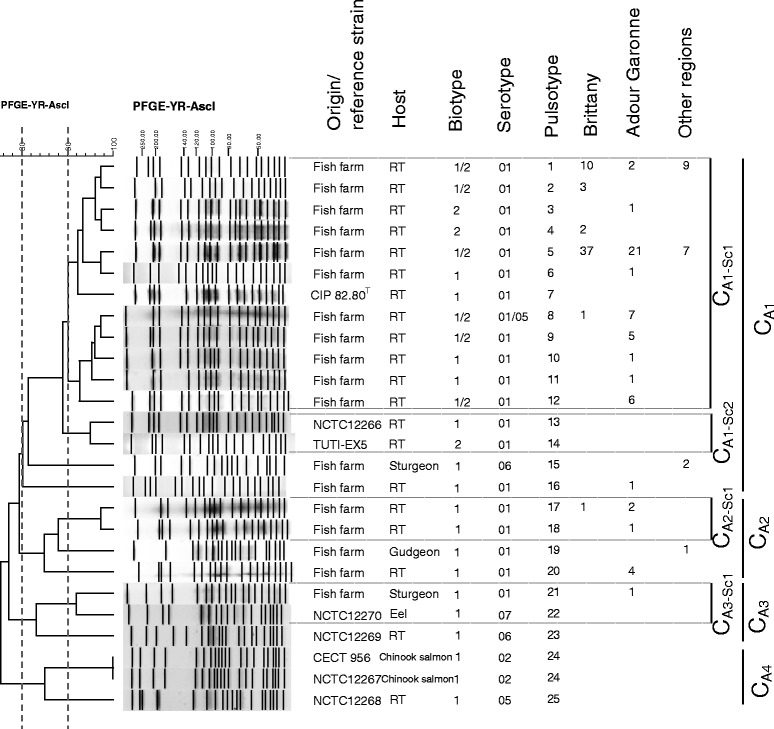 Dendrogram of the PFGE profiles of Y. ruckeri (field isolates and reference strains) obtained using the Asc I restriction enzyme and the BioNumerics software. Origin/reference strains, host, biotype, serotype, pulsotype, number and region of origin are indicated. Clusters and subclusters are presented.