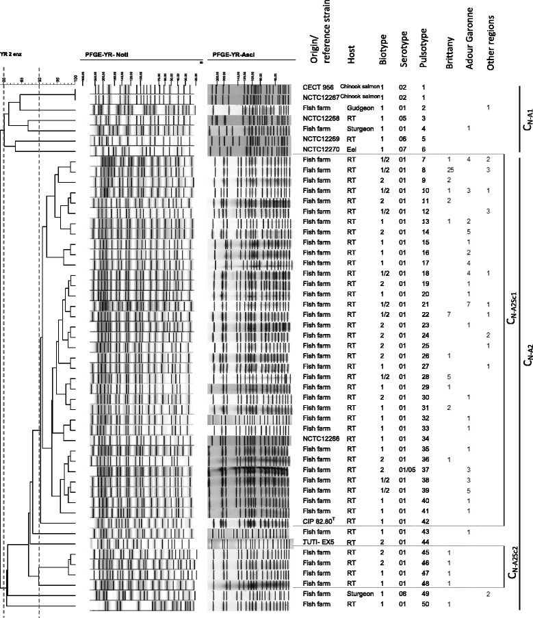 Dendrogram of the PFGE profiles of Y. ruckeri (field isolates and reference strains) obtained using the combination of Not I and Asc I restriction enzymes and the BioNumerics software. Origin/reference strains, host, biotype, serotype, pulsotype, number and region of origin are indicated. Clusters and subclusters are presented.