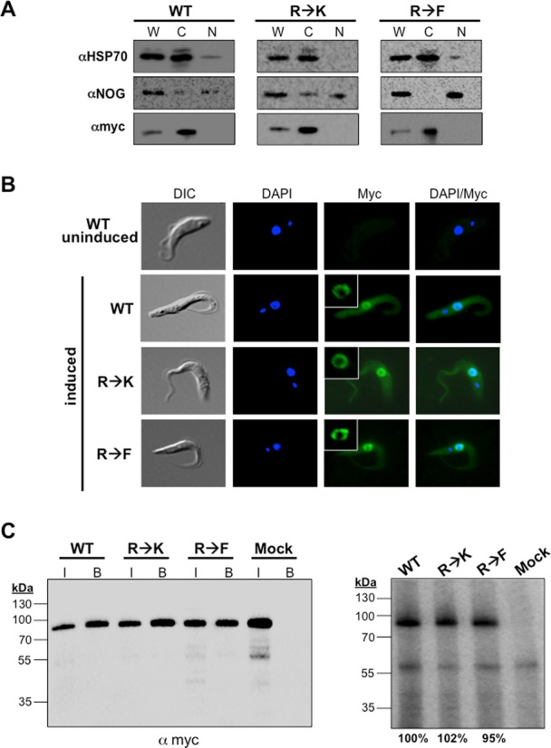 Effects of hypomethylation and methylmimic on subcellular localization and RNA binding capacity of DRBD18. ( A ) Biochemical fractionation and western blot analysis of MHT-DRBD18(WT), MHT-DRBD18(R→K) and MHT-DRBD18(R→F) expressing cell lines. Cells were harvested two days post-induction and 1 × 10 6 cellular equivalents of cytoplasmic and nuclear fractions were separated via 10% SDS-PAGE. HSP70 and NOG are cytoplasmic and nuclear markers, respectively. MHT-DRBD18 constructs were visualized using anti-myc antibody. W, whole cell; C, cytoplasmic fraction; N, nuclear fraction. ( B ) Indirect immunofluorescence of uninduced MHT-DRBD18(WT) expressing cells and MHT-DRBD18(WT), MHT-DRBD18(R→K), and MHT-DRBD18(R→F) expressing cell lines 2 days post-induction with tet using anti-myc antibody. Nuclei and kinetoplasts were stained with DAPI, and merged signals (myc/DAPI) are shown on the right. DIC, differential interference contrast. Inset shows higher magnification image of perinuclear labeling. ( C ) CLIP analysis of cells expressing MHT-DRBD18 variants. Cells expressing MHT-DRBD18 variants were UV crosslinked at 254 nm and proteins were precipitated using anti-myc conjugated resin. Cell lysate pooled from all three samples and incubated with uncoated beads served as a negative control sample (mock). Left panel shows anti-myc western blot analysis of input samples (7.5 × 10 5 cell equivalents). Also shown are immunoprecipitated (bound) MHT-DRDB18 variant proteins following in vivo crosslinking and immunoprecipitation and just prior to labeling with γ 32 P-ATP by polynucleotide kinase. These bound samples were used for the analyses shown in the right panel. I, input, B, bound samples. Right panel shows phosphorimage analysis of bound MHT-DRBD18 variant RNPs. Values below the image represent the average signals from three replicate experiments.