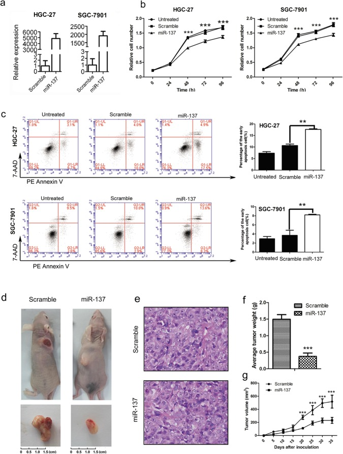 Overexpression of miR-137 inhibits gastric cancer cell proliferation. A. Real-time PCR was performed to detect the miR-137 expression in HGC-27 and SGC-7901 cells treated with miR-137 mimic or scramble mimic. B. Growth of HGC-27 and SGC-7901 cells was shown after <t>transfection</t> with miR-137 mimic or scramble mimic or no transfection. The growth index was assessed at 0, 1, 2, 3 and 4 days. The bars represent the mean ± SD of three independent experiments (*** means P