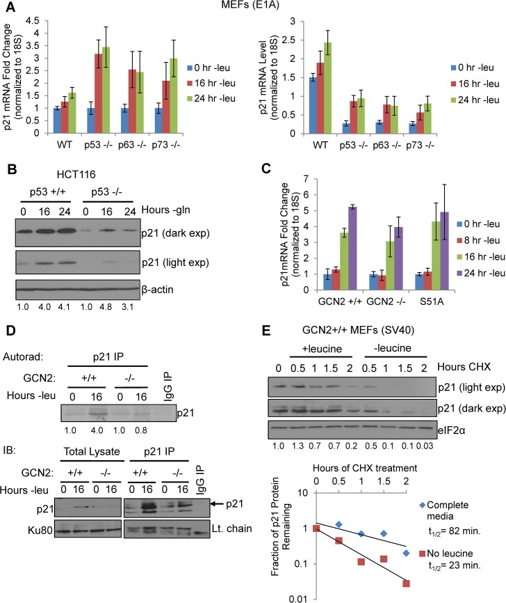 GCN2 enhances p21 translation independently of p53. A) qPCR for p21 was performed on RNA isolated from wildtype, p53 -/- , p63 -/- , and p73 -/- MEFs deprived of leucine for the indicated times. p21 transcript levels were normalized to 18S rRNA. Left: Results are depicted as fold change over control for each cell line. Right: Results are depicted as absolute levels of normalized transcript. Data represent the average of three independent experiments ± S.E.M. B) Western blot analysis of p21 induction in p53 +/+ and p53 -/- HCT116s. β-actin was used as a loading control. Values below blot represent fold change in total pixel intensity over control of p21 normalized to the loading control for each lane. C) qPCR for p21 was performed on RNA isolated from GCN2 +/+ , GCN2 -/- , and eIF2α S51A MEFs deprived of leucine for the indicated times. p21 transcript levels were normalized to 18S rRNA and are depicted as fold change over control. Data are the average of three independent experiments ± S.E.M. D) Metabolic labeling of p21 under leucine deprivation. Top: Autoradiograph of 35 S-labeled p21 immunoprecipitated from GCN2 +/+ and GCN2 -/- MEFs grown with or without leucine for 16 hours. Bottom: Western blot with cold amino acids to determine immunoprecipitation efficiency and verify induction of p21 in total cell lysates. E) Measurement of p21 protein half-life under replete and leucine starved conditions. GCN2 +/+ MEFs were initially grown in leucine-free media to induce p21 protein levels at time 0. Cells were then switched to complete or leucine-free media containing 50 μg/mL cycloheximide. Top: Western blot analysis of p21 protein levels during a time course of cycloheximide treatment. Total eIF2α was used as a loading control. Values below blot represent fold change in total pixel intensity over control of p21 normalized to the loading control for each lane. Bottom: Normalized p21 protein values were fit to exponential decay curves to calculate protein half-life.