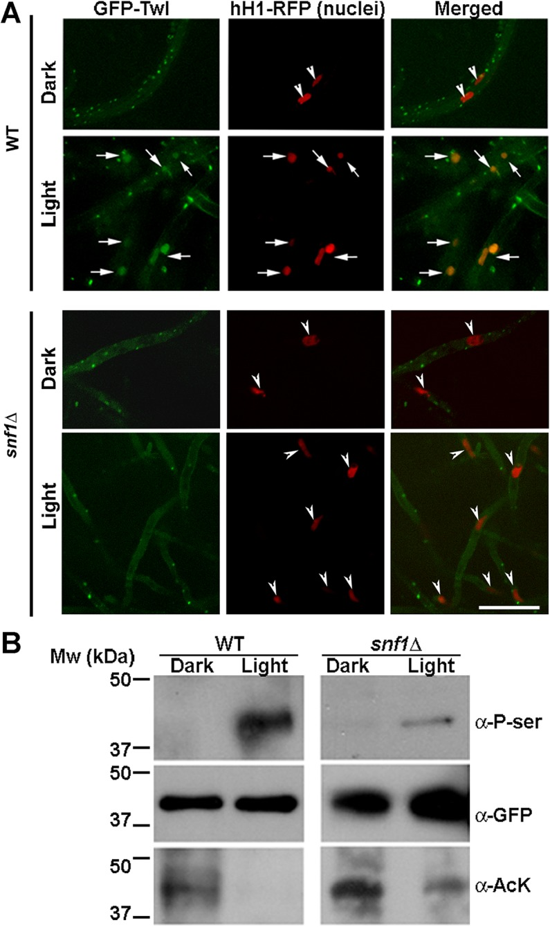 Snf1 kinase dependent phosphorylation drives the translocation of GFP-Twl into the nucleus in response to phototropic cues. (A) WT or snf1 Δ mutant expressing GFP-Twl and hH1-RFP (as a marker of nuclei), were grown in constant dark or under constant illumination (12 h) and subjected to confocal microscopy. GFP-Twl co-localizes with nuclei marked with hH1-RFP in the WT in response to light exposure, but not in the snf1 Δ mutant. Scale bar = 10μm. Arrows denote the overlap between GFP-Twl and the nuclei. Arrowheads denote nuclei (hH1-RFP) without GFP-Twl. (B) GFP-Twl is phosphorylated by Snf1 during phototropic growth. The GFP-Twl strain or snf1 Δ expressing GFP-Twl was grown in the dark or subjected to photo-induction for 12 h before total protein extraction. GFP-Trap samples from the total lysates were probed with anti-PhoSer antibody to detect phosphorylation on Serine residue(s), and then stripped and re-probed with anti-GFP as a loading control. The same membrane was stripped and re-probed with anti-AcetLysine (anti-AcK) to detect possible acetylation on Twl.