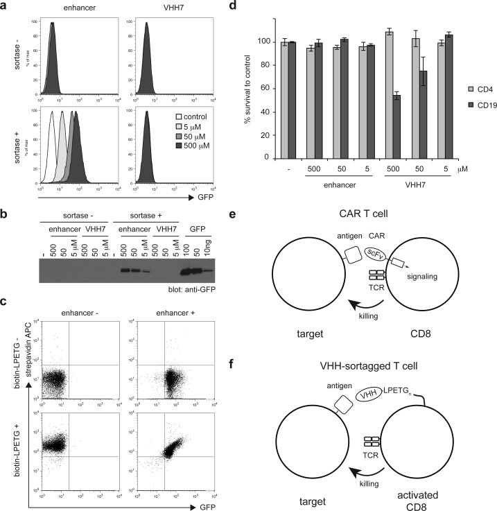 Installation of VHHs on mouse lymphocytes. (a) In vitro activated CD8 T cells from OTI RAG–/– mice were incubated for 1 h at RT with or without 500, 50, or 5 μM of enhancer-LPETG or VHH7-LPETG and with or without 20 μM of sortase A. Control or sortagged cells were incubated with purified GFP. Binding of GFP was analyzed by flow cytometry. (b) Control or sortagged cells were incubated with purified GFP. The amount of bound GFP was estimated by analysis of cell lysates by SDS-PAGE and immunoblotting against GFP and comparing the resultant signal to a GFP standard (right lanes). (c) Erythrocyte-depleted splenocytes were incubated with or without 500 μM enhancer-LPETG and 20 μM sortase A. After 60 min, 500 μM biotin-LPETG was added to reactions where indicated for a further 15 min. Dot plots show the binding of APC-conjugated streptavidin and GFP by sortagged cells after washing. (d) In vitro activated CD8 T cells from OTI RAG–/– mice were incubated for 1 h at RT with or without 500, 50, or 5 μM of enhancer-LPETG or VHH7-LPETG and 20 μM of sortase A. Sortagged cells were incubated with splenocytes from WT mice for 20 h. Histograms show the percentage of propidium iodide-negative CD4 and CD19 cells, compared to cells incubated with control activated OTI CD8 T cells. Error bars: standard deviation ( n = 3). (e) CAR T cells are genetically engineered to express a synthetic receptor composed of an extracellular single-chain variable fragment and one or several cytoplasmic activating motifs that mediate signal transduction and T cell activation upon antigen binding. (f) Sortase-mediated conjugation of VHHs on activated T cells affords redirection of cytotoxicity toward cells expressing the targeted antigen.