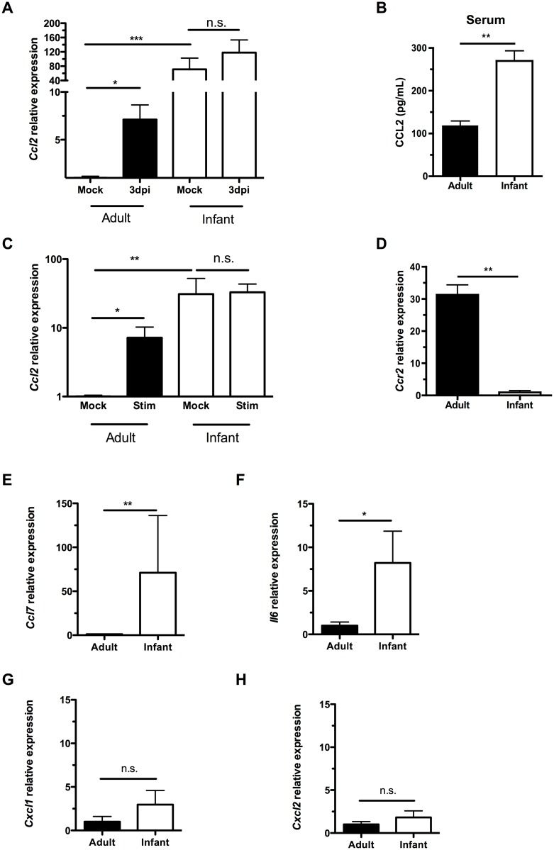 Infant mice do not form a gradient of CCL2 expression during colonization. (A) Adult (42d old) and infant (7d old) mice were inoculated with PBS (mock) or pneumococci. At 3d post-inoculation, nasal lavages were obtained with RLT lysis buffer, and RNA was isolated and reverse transcribed to cDNA. qRT-PCR was performed to measure relative expression of Ccl2 . (B) Serum was obtained from adult and infant mice, and ELISA used to measure CCL2 levels. (C-D) Peritoneal macrophages from adult and infant mice were lysed with RLT buffer and RNA isolated. qRT-PCR was used to measure relative expression of Ccl2 (C) and Ccr2 (D). In (C), cultured macrophages were incubated overnight with PBS (Mock) or heat-killed bacterial lysates (Stim) prior to lysis. (E-H) Uncolonized adult and infant mice were sacrificed, and nasal lavages obtained with RLT lysis buffer. RNA was isolated and reverse-transcribed into cDNA. qRT-PCR was used to measure relative expression of Ccl7 , (E) Il6 , (F) Cxcl1 , (G) and Cxcl2 (H). Data are represented as mean +/- SEM. n.s., not significant. * = p