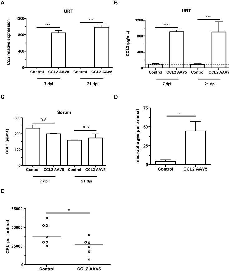 CCL2 overexpression increases macrophage recruitment and pneumococcal clearance. (A-C) Mice were inoculated with a control (GFP-expressing) or a CCL2-expressing AAV5 vector at 4d of age, followed by pneumococcal colonization at 7d old. Seven and 21 days later, mice were sacrificed and nasal lavages were obtained with RLT lysis buffer. (A) RNA was isolated and cDNA reverse-transcribed, followed by qRT-PCR to measure the relative expression of Ccl2 in the upper respiratory tract, using primers Ccl2 ORF-F and Ccl2 ORF-R. ELISA was used to measure CCL2 protein levels in nasal lavage (B) and serum (C) at 7 and 21 dpi. (D) Mice were inoculated with a control (GFP-expressing) or a CCL2-expressing AAV5 vector at 4d of age, followed by pneumococcal colonization at 7d of age. Seven days later, mice were sacrificed, nasal lavages obtained and flow cytometry used to measure macrophage recruitment. (E) At 21d post-inoculation, nasal lavages were obtained and plated to measure the pneumococcal load in the nasopharynx. Data are represented as mean +/- SEM. n.s., not significant. * = p