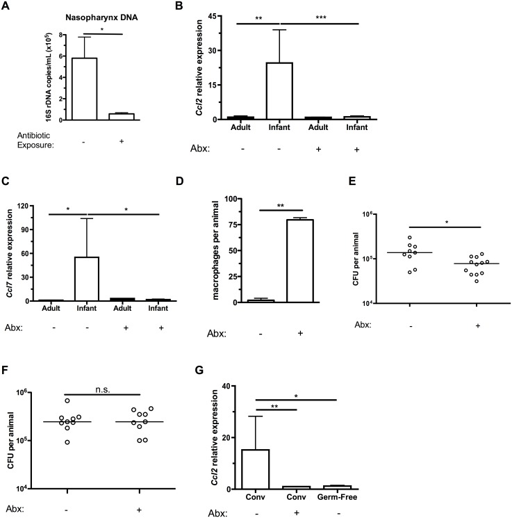 Depleting the microbiota limits infant Ccl2 expression and accelerates pneumococcal clearance. (A) Breeding pairs were placed on sterile filtered tap water or water containing 5 antibiotics (Abx) for at least 5 days prior to giving birth, and continued until the infant mice were 10d old. Mice were sacrificed, and nasal lavages obtained with PBS. DNA was isolated from lavage fluid, and qPCR used to measure the number of copies of 16S bacterial ribosomal DNA. (B-C) Adult mice were maintained on sterile filtered tap water or water containing 5 antibiotics for at least 2 weeks. Breeding pairs were provided water as above. Mice were sacrificed, and nasal lavages obtained with RLT lysis buffer. RNA was isolated and reverse-transcribed into cDNA, and qRT-PCR used to measure relative expression of Ccl2 (B) and Ccl7 (C) in the nasopharynx. (D) Infant mice were exposed to tap water or antibiotics as in the previously described protocol. Treatments were continued until infant mice were 6d old, then all mice were given tap water to drink. 24 hrs later, mice were inoculated with pneumococci. At 7 dpi, mice were sacrificed and nasal lavages fixed and stained for flow cytometry to measure the number of macrophages present in the airway lumen. (E-F) Infant mice were treated as in (D). At 14d (E) and 7d (F) post-inoculation, mice were sacrificed. Nasal lavages were obtained and plated on media containing neomycin and catalase to measure pneumococcal density in the URT. (G) Ccl2 expression was measured in the nasopharynx of tap- or antibiotic-water exposed conventionally-reared (Conv), or germ-free infant mice. Data are represented as mean +/- SEM. Horizontal lines indicate median values. n.s., not significant. * = p