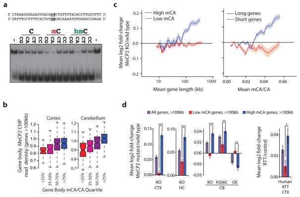 """MeCP2 represses long genes containing high levels of mCA a, EMSA analysis of the MeCP2 methyl-binding domain (amino acids 78–162) binding to 32 P-end-labeled mCA-containing DNA probe incubated with 100-fold excess of unlabeled competitor oligonucleotides containing unmodified, methylated, or hydroxymethylated cytosines at the dinucleotides indicated in bold; no competitor indicated by """"−"""" (see Methods, Extended Data Fig. 3 ). b, Boxplots of MeCP2 ChIP-seq read density within genes > 100 kb plotted by quartile of mCA/CA in the cortex and cerebellum. c, Mean fold-change in gene expression binned according to gene length in MeCP2 KO cortical tissue for genes with high (mCA/CA > 0.034, top 25%) and low (mCA/CA"""