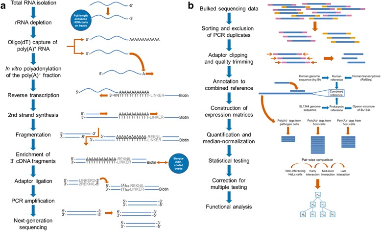 Scheme of dual 3'Seq library preparation and bioinformatic processing of the generated sequencing data. (a) Total RNA was size-selected (Additional file 3 ) subsequent to DNase I digestion of remaining DNA in the isolate. Following rRNA depletion (Additional file 3 ), the RNA was split into the poly(A) + and poly(A) − fraction by oligo(dT) capture to separate the polyadenylated and functional mRNAs of eukaryotic cells from the non-polyadenylated transcripts that represent the functional transcriptome of prokaryotes. Ensuing in-vitro polyadenylation of the poly(A) − fraction, both fractions were subjected to oligo(dT)-based reverse transcription. The generated cDNA was fragmented according to two established 3′ transcriptome profiling techniques. DeepSuperSAGE tags were generated via cleavage of RNAs by the anchoring enzyme NlaIII and subsequent digestion using EcoP15I, while MACE involved random fragmentation for generation of tags. 3′ fragments were enriched by binding to a streptavidin matrix and ligated to a sequencing adaptor. Adaptor-ligated fragments were PCR-amplified using GenXPro's TrueQuant technology for PCR-bias free amplification, PAGE-purified, and sequenced on the Illumina HiSeq2000 platform. (b) Barcoded reads were allocated to their respective library, filtered for PCR-derived reads, and trimmed for high-quality sequences. Afterwards, reads were annotated to a combined reference comprising the transcriptome and genome sequences of SL1344 and human host cells in a multi-step procedure. Reads uniquely mapped to one of both organisms were combined to three distinct expression matrices for functional analysis of the poly(A) − transcriptome from pathogen and host cells as well as the poly(A) + fraction of the host cells. For each expression matrix, annotated reads were quantified and median-normalized using DESeq, followed by pair-wise, time-dependent comparison of the different interaction stages. Statistical significance was subsequently corrected for multiple testing according to Benjamini and Hochberg.