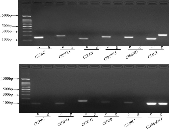 """PCR amplification products of the candidate reference genes on <t>cDNA</t> and <t>gDNA</t> templates. """"c"""" represents the cDNA template. """"g"""" represents the gDNA template."""