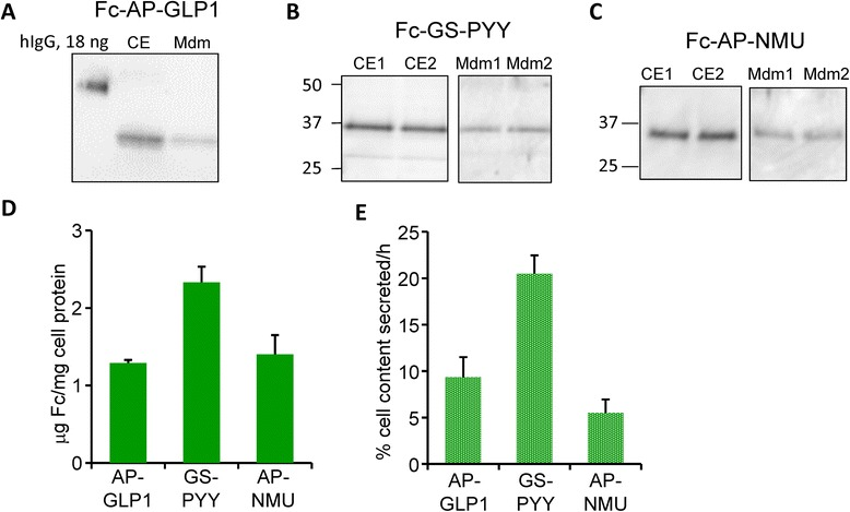 Characterization of Fc-fusion protein expression and secretion in wildtype CHO lines. Samples of cell extract (CE) and spent medium (16 h collection) prepared from CHO lines expressing Fc-AP-GLP1 ( a ) [15 μg (7 %) of CE; 0.9 % of spent medium], Fc-GS-PYY ( b ) [10 μg (8.5 %) of CE; 1.3 % of spent medium) and Fc-AP-NMU ( c ) [10 μg (5.3 %) of CE; 1.3 % of spent medium) were fractionated by SDS-PAGE; samples and a human IgG standard were visualized using antibody to human Fc. d Using GeneTools, data from several similar analyses (n = 3–4) were quantified to determine μg Fc/mg cell protein. e The secretion rate for Fc was calculated for several experiments by quantifying the amount of Fc recovered from the cell extract (CE) and from the medium using GeneTools; for each cell line, secretion rate was expressed as % cell content secreted per hour