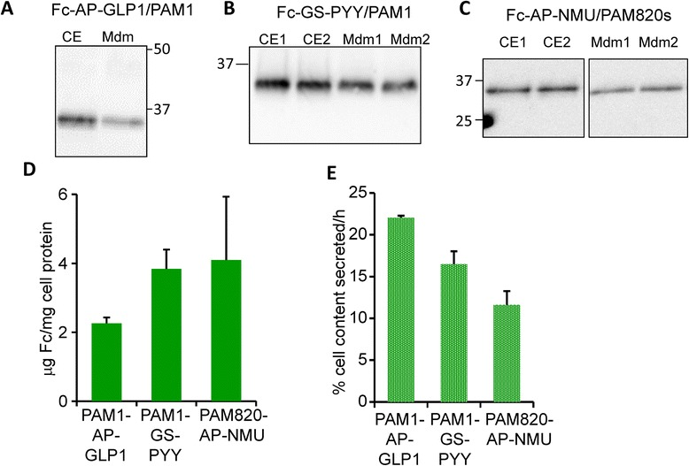 Characterization of Fc-fusion protein expression in CHO lines expressing PAM. Fc-AP-GLP1 ( a ) and Fc-GS-PYY ( b ) were expressed in PAM1 CHO cells; Fc-AP-NMU ( c ) was expressed in PAM820s CHO cells. Aliquots of cell extract ( a , 5 %; b , 3 %; c , 6 % of total cell extract) and spent medium ( a , 0.7 %; b , 1.3 %; c , 2.3 % of total medium volume) were prepared as described for Fig. 3 . d Using GeneTools, data from several similar analyses were quantified to determine μg Fc/mg cell protein ( d ) and Fc secretion rate ( e )