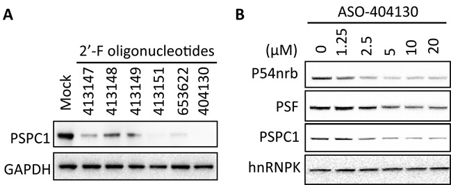 <t>PSPC1</t> levels are reduced by 2′-F-modified oligonucleotides. ( A ) Indicated oligonucleotides were transfected into HeLa cells at a final concentration of 30 nM. After 24 h, levels of PSPC1 were evaluated by western. GAPDH served as a loading control. ( B ) A431 cells were incubated with ISIS404130 by free uptake for 40 h at the indicated concentrations. Levels of P54nrb, PSF and PSF proteins were evaluated by western. GAPDH served as a loading control.