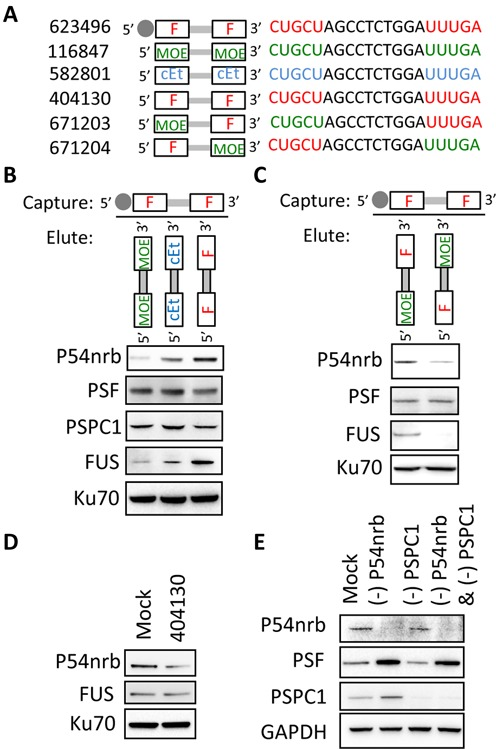P54nrb preferentially associates with 2′-F-modified oligonucleotides. ( A ) Oligonucleotides used in this experiment. ( B ) ASO-binding proteins were isolated from HeLa cell extracts using a biotinylated gapmer 2′-F-PS-ASO (ISIS623496). Proteins were eluted from beads by competition with indicated gapmers. The affinity-selected proteins were analyzed by western blot. Ku70 served as a loading control. ( C ) Western analysis following ASO-pull down as described in panel (A) indicated that P54nrb has higher affinity for oligonucleotides with the 2′-F modification on the 3′ side. Ku70 served as a loading control. ( D ) Transfection of 2′-F-oligonucleotides reduced P54nrb but not <t>FUS</t> protein levels. HeLa cells were transfected with 2′-F-PS-ASO (ISIS404130) at a final concentration of 30 nM, and protein levels were determined by western analysis. ( E ) Western analysis of proteins isolated from HeLa cells following treatment of cells with siRNAs targeting P54nrb or <t>PSPC1</t> mRNA. Cells were transfected with siRNA at 3-nM final concentration and harvested after 36 h.