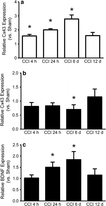 qPCR data of <t>Cx43</t> mRNA expression in a peripheral nerve, where Cx43 is differentially expressed at three different time points and b <t>DRG,</t> where Cx43 is downregulated 6 days after CCI. c DRG: qPCR data of BDNF mRNA expression shows an upregulation 24 h and 6 days post CCI. Mean ± SD, *p