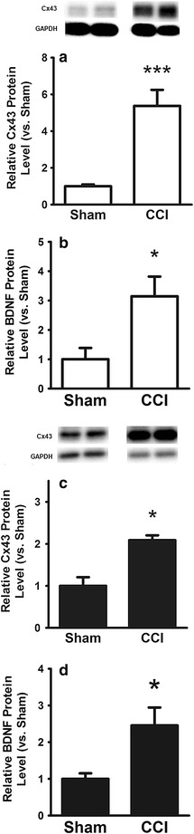 a Protein expression of Cx43 in sciatic nerve; b expression of BDNF protein in sciatic nerve; c protein expression of Cx43 in DRG; d expression of BDNF protein in DRG. All experiments compare rats 12 days after CCI to Sham. Data show a marked upregulation of Cx43 and BDNF protein levels in nerve and DRG following CCI. Mean ± SD, *p