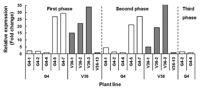 Relative expression of AtGA20ox gene in T 0 <t>transgenic</t> kenaf plants in three stages of their growth. Tissues were harvested at different phases of their growth as first (8–10 weeks), second (28–30 weeks) and third (after 30 weeks) phases and total <t>RNA</t> was amplified by real-time PCR using AtGA20ox sequence specific primers to measure the transcript level. Expression levels were normalised against 18S and 17S.