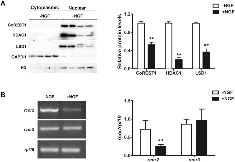 CoREST1 and CoREST2, but not CoREST3 are down-regulated during NGF-dependent neuronal differentiation of PC12 cells. (A) Left: representative immunoblots of CoREST1, HDAC1 and LSD1 in equivalent protein amounts of cytosolic and nuclei fractions of control (-NGF) and NGF treated (50 mg/ml during 7 days) PC12 cells. Histone H3 was used as loading control for nuclear fraction and GAPDH for cytoplasmic fraction. Right: graph of relative protein levels of CoREST1, HDAC1 and LSD1 respect to histone H3 levels. Values correspond to the mean ± SEM of at least 3 independent experiments. **p
