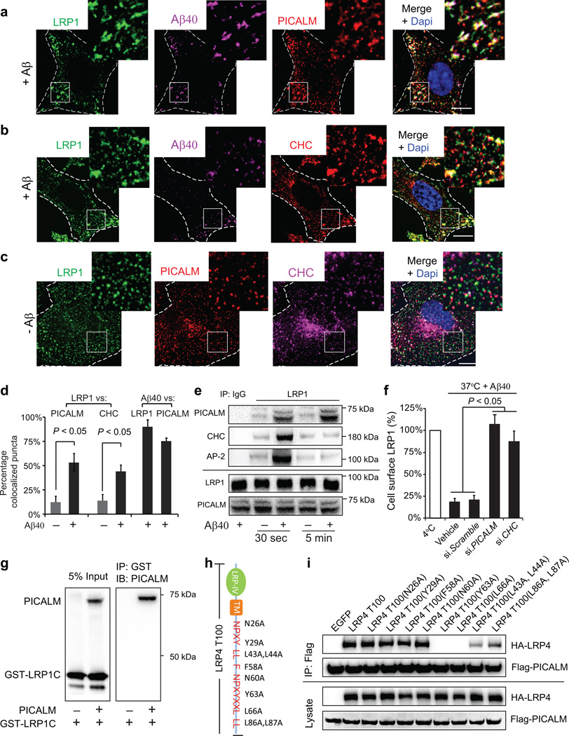 PICALM/clathrin–dependent endocytosis of Aβ–LRP1 complex by brain endothelial cells a–b , Colocalization of LRP1–Aβ40 complex with PICALM ( a ) and clathrin heavy chain (CHC) ( b ) in human brain endothelial cells (BEC) within 30 s of FAM–Aβ40 (250 nM) treatment. c , Immunostaining for LRP1, PICALM and CHC without Aβ (– Aβ). Dapi, nuclear staining (blue). Insets: higher magnification. Bar=10 µm. d , Quantification of LRP1 puncta colocalized with PICALM in a, c and with CHC in b, c , and FAM–Aβ40 puncta colocalized with LRP1 and PICALM in a, b . Means ± s.d. from 3 primary isolates in triplicate. p