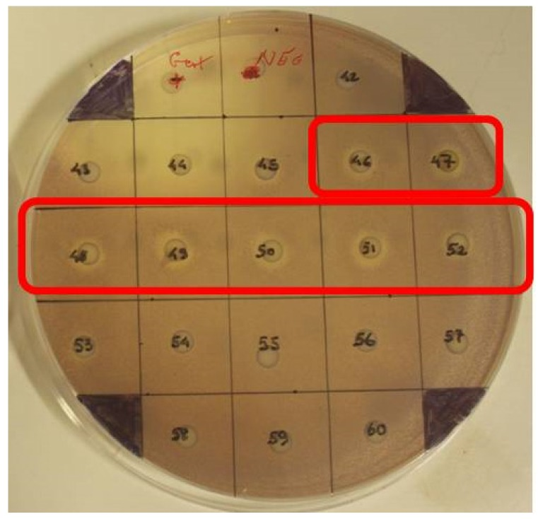Disc diffusion assay against C. violaceum ATCC 12472 of fractions obtained using Flash Chromatography. Antimicrobial activity was detected in fractions 35–36 (not shown) and 46–52.