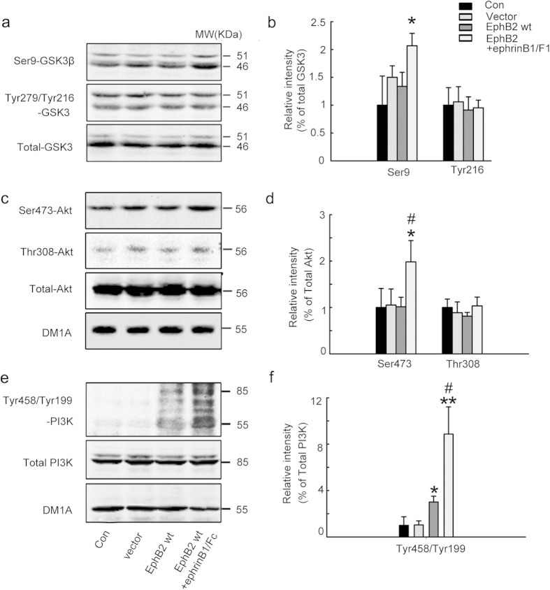 Stimulation of EphB2 up-regulates PI3K and Akt with <t>GSK-3β</t> inhibition. HEK293-tau cells were untreated (Con) or transfected with pcDNA3.0 (Vector) or transfected with wild type EphB2 alone (EphB2wt, inactive) for 24 h, or transfected with EphB2wt for 24 h and then stimulated with ephrinB1/Fc for 45 min. The activity-dependent phosphorylation of GSK-3β at Ser9 (inactive form) and Tyr216 (active form) ( a, b ), Akt at Ser473 and Thr308 (active form) ( c, d ), and PI3K at Tyr458/199 (active form) (e, f) was measured respectively by Western blotting and quantitative analysis. The phosphorylation level of the kinases was normalized against the total level. Data were representative of at least three independent experiments with cells from 9~12 culture wells for each group and presented as the mean ± SD. * P