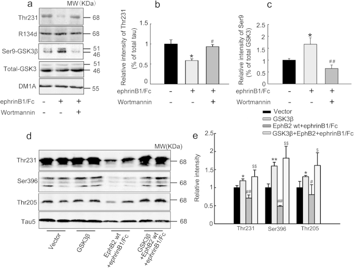 Simultaneous inhibition of PI3K or overexpression of GSK-3β abolishes the EphB2 activation-induced tau dephosphorylation. ( a-c ) SK-N-SH cells were treated with ephrinB1/Fc alone or ephrinB1/Fc plus wortmannin (an inhibitor of PI3K) for 2 h, and then phosphorylation level of GSK-3β at Ser9 and tau at Thr231 was measured by Western blotting. * P