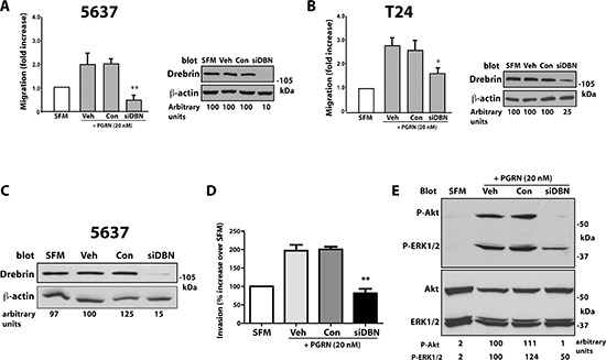 Drebrin modulates progranulin-induced motility and signaling of urothelial cancer cells (A and B) 5637 and T24 cells were transiently transfected with vehicle, control oligos or On-Target siGenome pool of drebrin-specific oligos. 48 h post-transfection cells were transferred to SFM or SFM supplemented with progranulin (40 nM) and counted for migration after 18 h. Data are the average of three independent experiments ±SD. * P