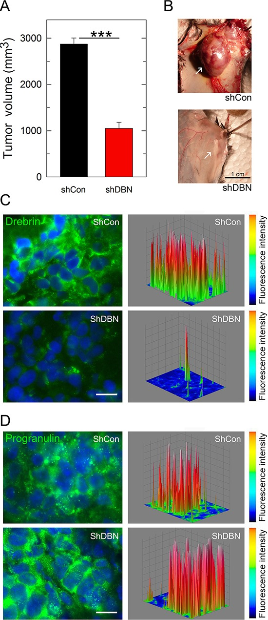 Drebrin regulates tumor formation in vivo (A) Tumor growth plot of mice ( n = 18) injected with UMUC-3/sh-control (shCon) and UMUC-3/sh-drebrin (shDBN) cells at day 52. *** P