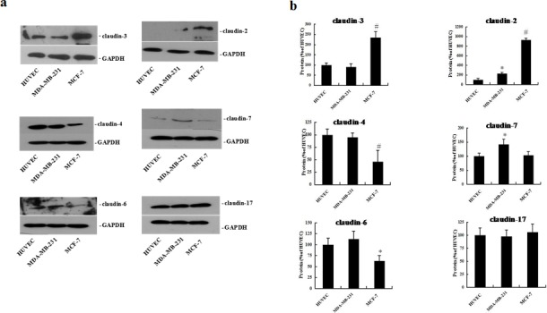 Expression of claudin-2, -3, -4, -6, -7, and -17 proteins in HUVEC, MDA-MB-231, and MCF-7 cells HUVEC, MDA-MB-231, and MCF-7 cells were plated on matrigel for 72 h. Western blot analysis of claudin proteins was performed using whole cell protein lysate. (a) Representative blots of claudin-2, -3, -4, -6, -7, and -17 (b) The corresponding expression levels are shown as bar graphs. Claudin protein levels in HUVEC cells were defined as 1. Data represent the mean + SD (n=3), *: p