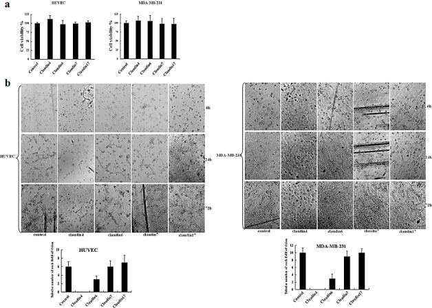 Effects of claudin blocking antibodies on cell proliferation, morphology, and tubule formation (a) MTT assay was used to assess the effects of different blocking antibodies on the proliferation of HUVEC and MDA-MB-231 cells. HUVEC and MDA-MB-231 cells were plated in 96-well plates. Medium containing claudin-2, -3, -4, -6, -7, or -17 blocking antibodies (1 μg/mL) were added to the 96-well plates. An equivalent volume of mouse IgG1 control antibody was used as a control. Data represent the mean + SD (n=3). *: p