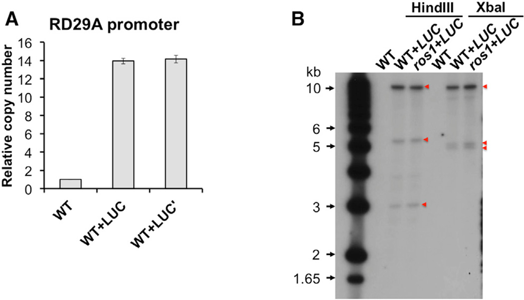 The pRD29A-LUC Transgene Is Likely a 13-Copy Repeat (A) Number of RD29A promoter sequences in WT+LUC measured by qPCR. Non-transgenic WT plants were used as a reference of one. Error bars indicate SD calculated from qPCR reactions of three technical replicates. (B) Southern blotting of HindIII- and XbaI-digested genomic DNA using a LUC -specific probe ( Figure S1A ). DNA size markers were indicated on the left side of the membrane. LUC -specific bands were indicated by red triangles.
